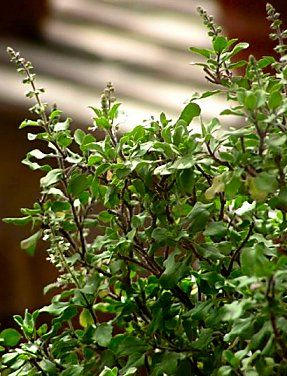 Holy Basil: Tulsi and its Medicinal Uses