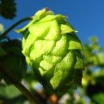 Hops Flower 150x150 Ayurveda for Insomnia: Ayurvedic Herbs for Treating Insomnia