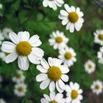 chamomile 150x150 Ayurveda for Insomnia: Ayurvedic Herbs for Treating Insomnia