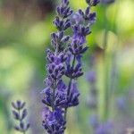 lavender 150x150 Ayurveda for Insomnia: Ayurvedic Herbs for Treating Insomnia