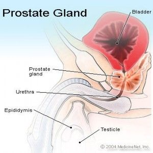 prostate gland1 300x300 Prostate cancer is the second leading cause of death:symptoms,causes and treatment
