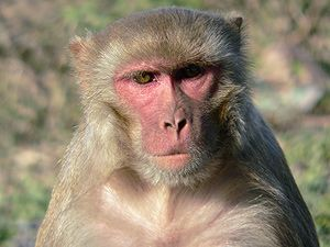 rhesus macaque monkeys responded to new HIV Vaccine