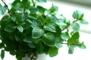 Mint an effective herbal remedy