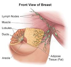 Breast Structure
