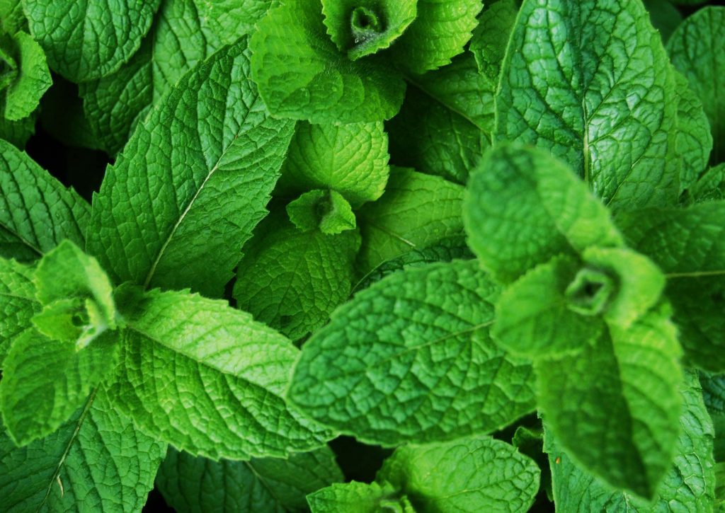 Mint Treats Tuberculosis