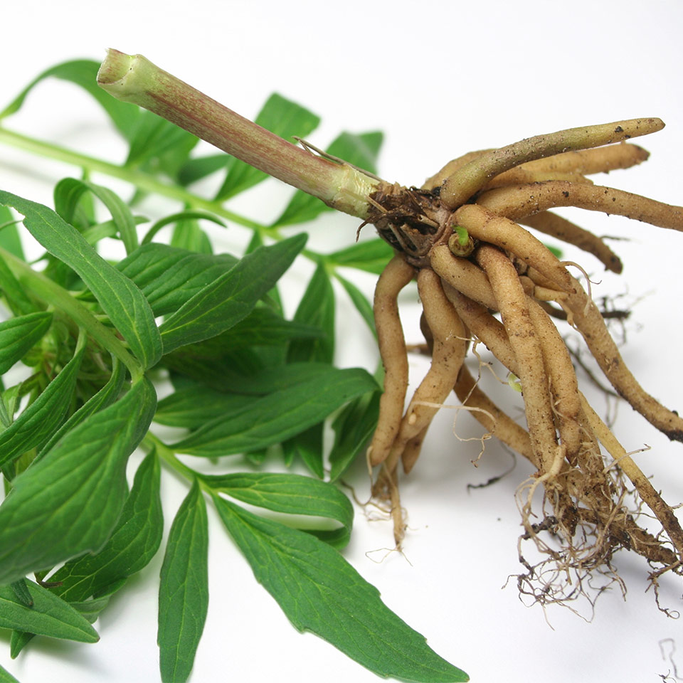 natural sleeping aid valerian root